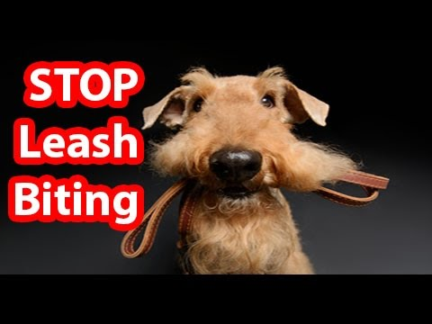 How to Stop your Dog From Biting the Leash in 2018