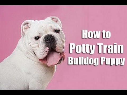 potty training a bulldog pup