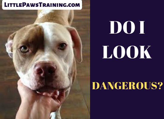 Why are PitBulls dangerous?