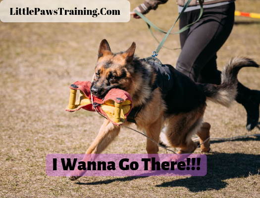 Method 1 to train your german shepherd to heel