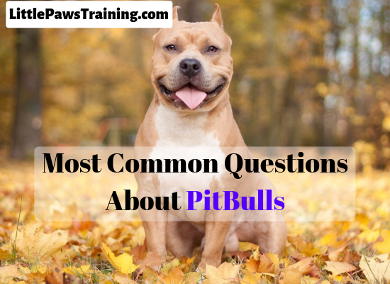 Most common questions about Pitbulls