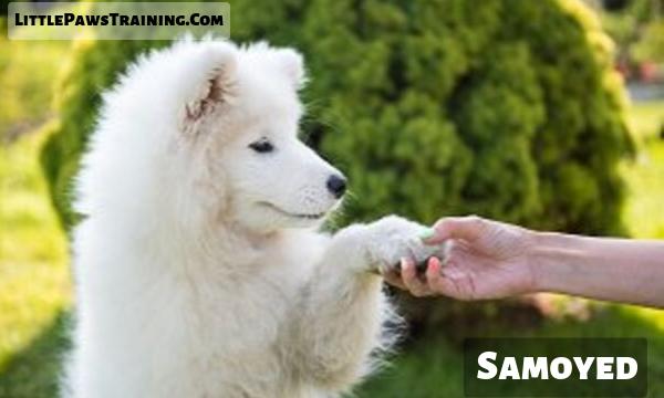 American eskimo vs Samoyed personality comparison