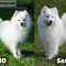 Samoyed vs American Eskimo – Which Would be Better for you?