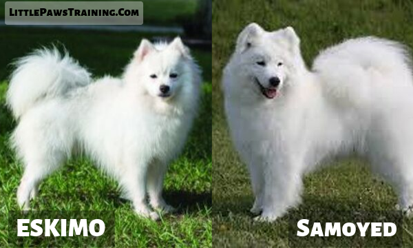 American eskimo vs Samoyed detailed comparison