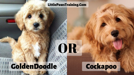 Comparison between goldendoodle and cockapoo