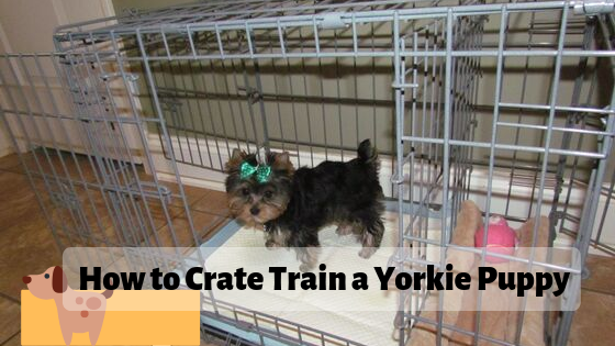 How to Crate Train a Yorkie Puppy