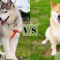Husky vs Akita [Which is Best for You?]