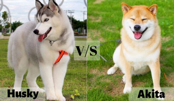 Husky vs Akita detailed comparison