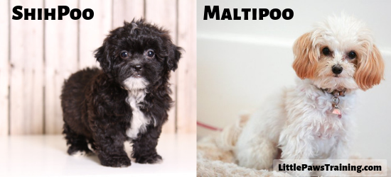 ShihPoo vs Maltipoo comparison on appearance