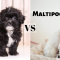 Full Comparison of Shih Poo vs Maltipoo