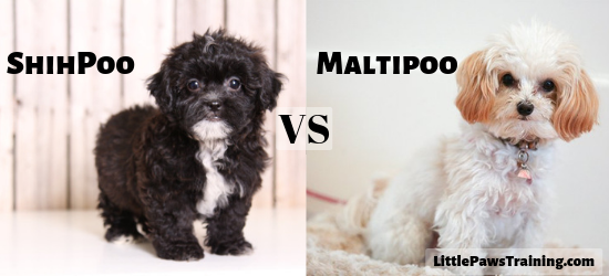 ShihPoo vs Maltipoo full detailed omparison