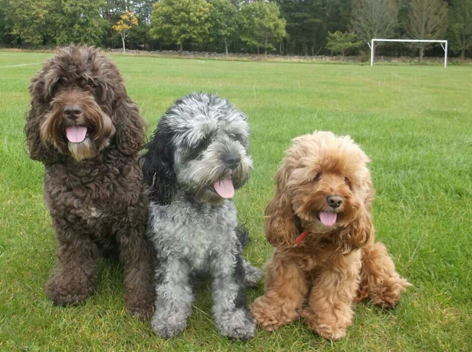 different sizes of a cockapoo