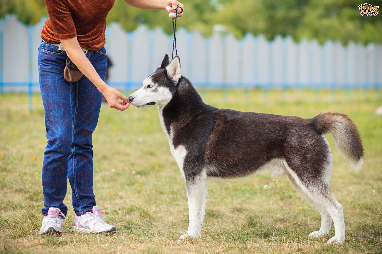 husky vs akita training