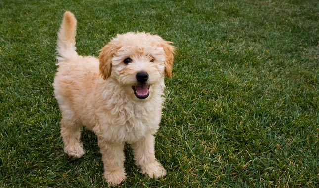 overview of goldendoodle