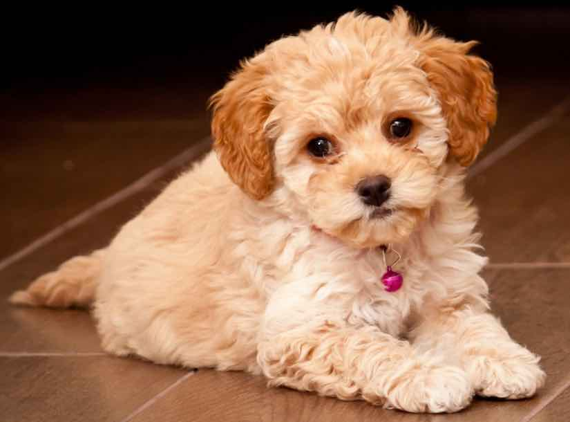 overview of maltipoo