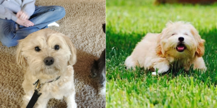 shihpoo vs maltipoo comparison