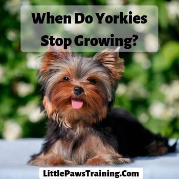 when do yorkie stop growing_