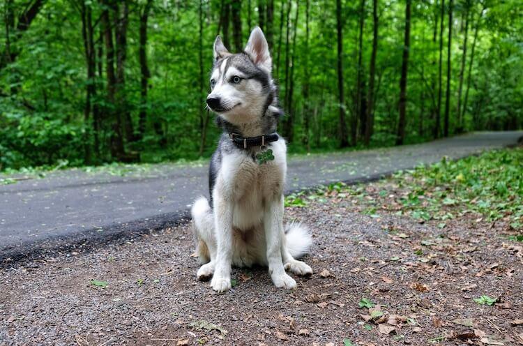 Alaskan-Klee-Kai-Dog appearance