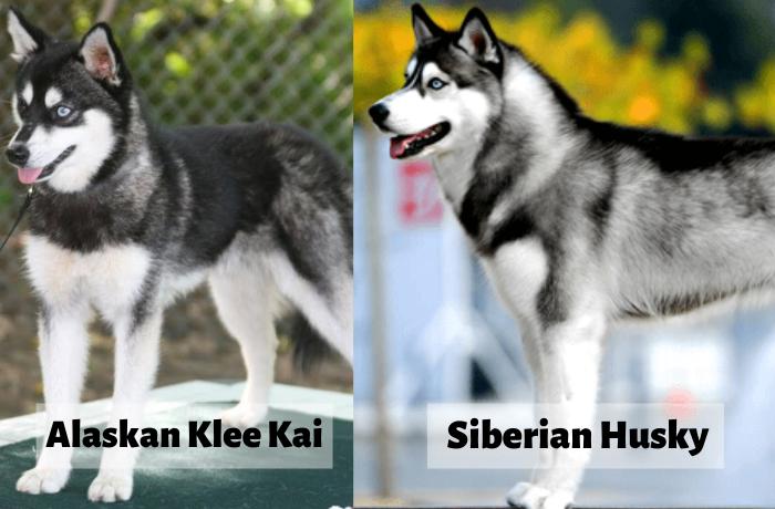 Alaskan Klee Kai v/s siberian husky 2
