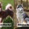 Alaskan Klee Kai vs Siberian Husky