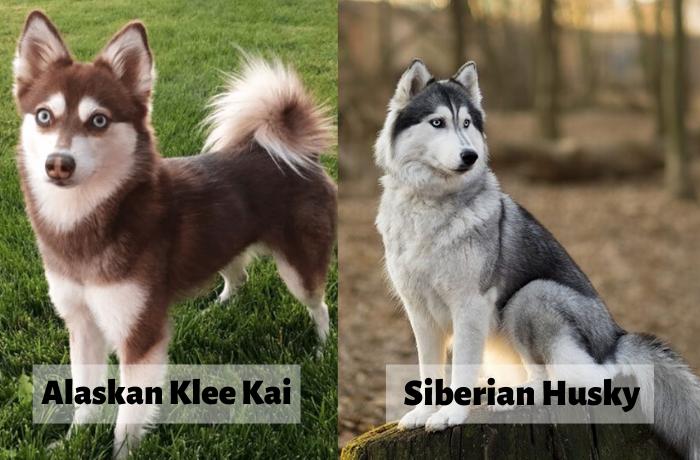 Alaskan Klee Kai v/s siberian husky