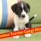 Boston Terrier Corgi mix: Should you pet this breed?