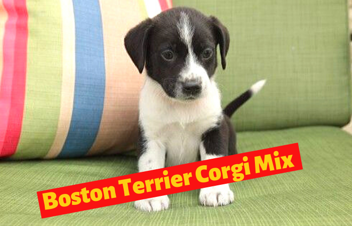 Boston Terrier Corgi Mix