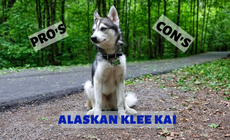 Pros and Cons of Alaskan Klee Kai