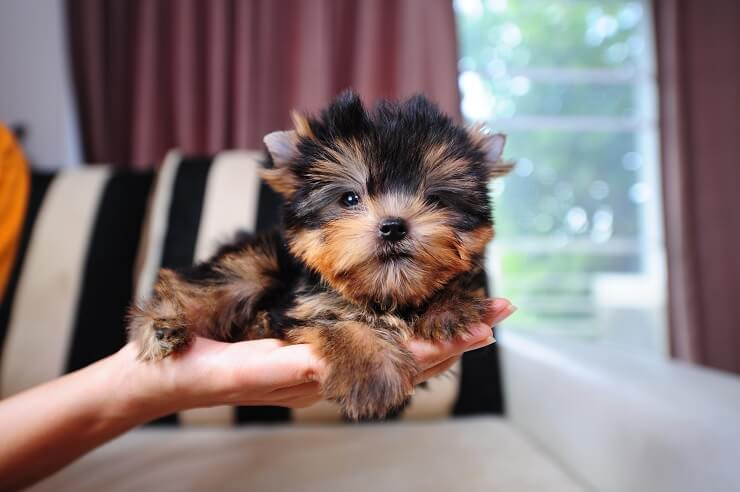 how big do teacup yorkies grow