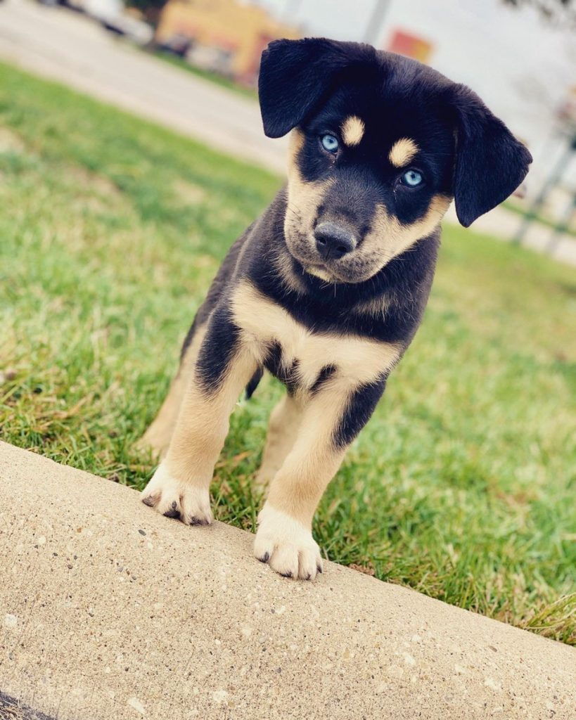 traits of a rottweiler husky mix
