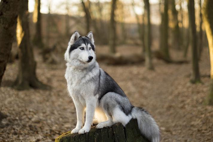 Siberian Husky personality