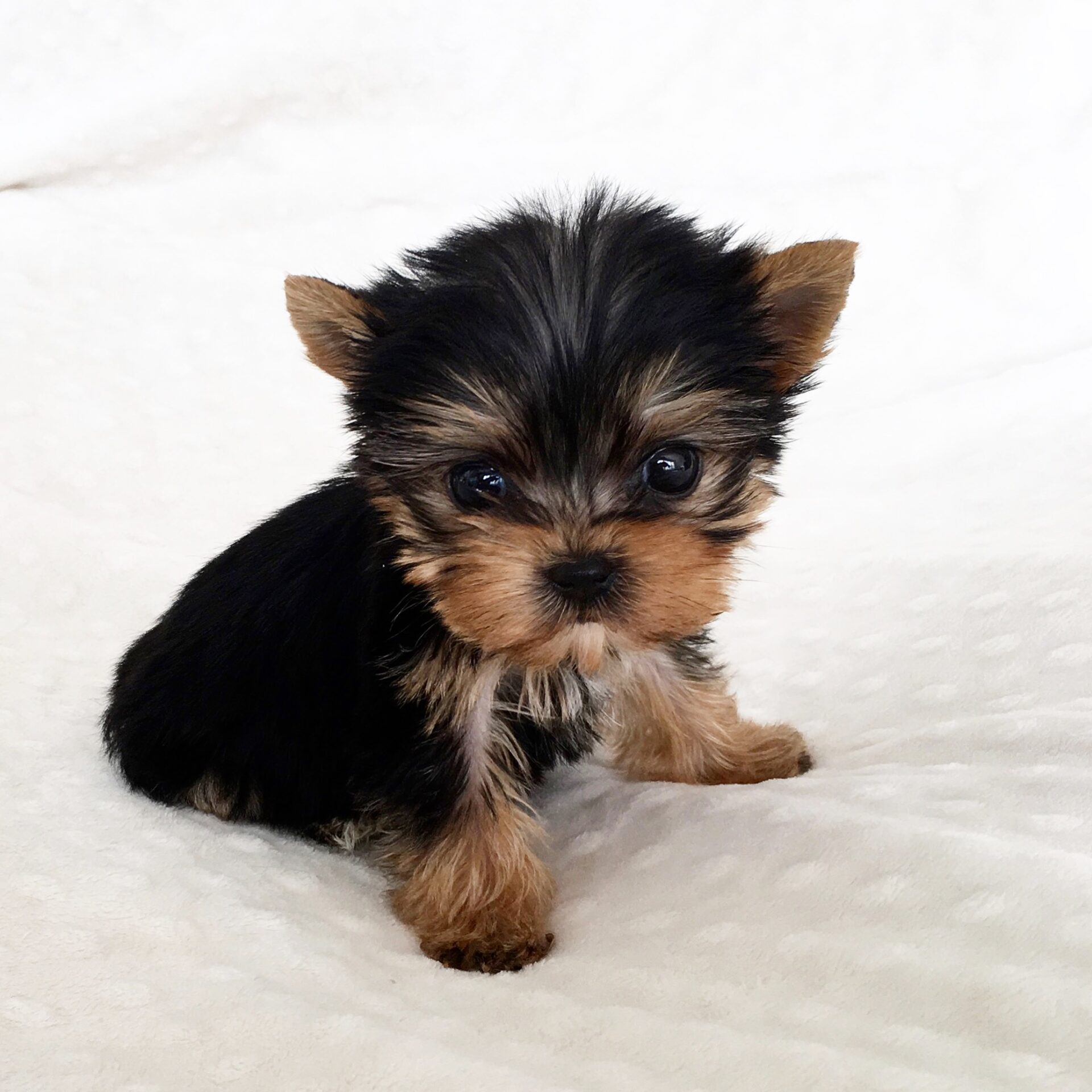 Teacup Yorkie Health problems