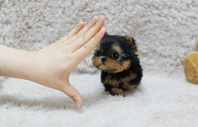 How Big will Teacup Yorkies Grow?