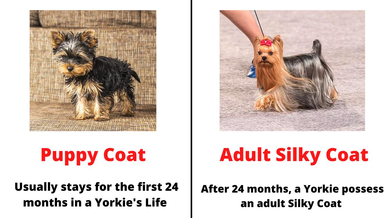 comparison between puppy coat and silky coat in Yorkies