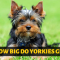 How big do Yorkshire Terriers grow?