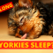 How Long do Yorkshire Terriers sleep? Complete Guide on Yorkie Sleeping Habits