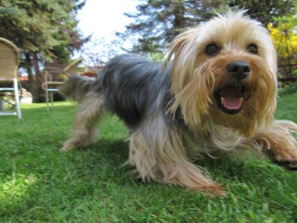 How to Stop excessive Yorkie barking