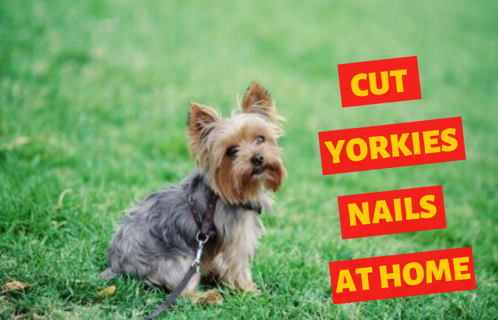 How to cut yorkies nails at home