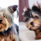 Difference between a Regular Yorkie and Teacup Yorkie