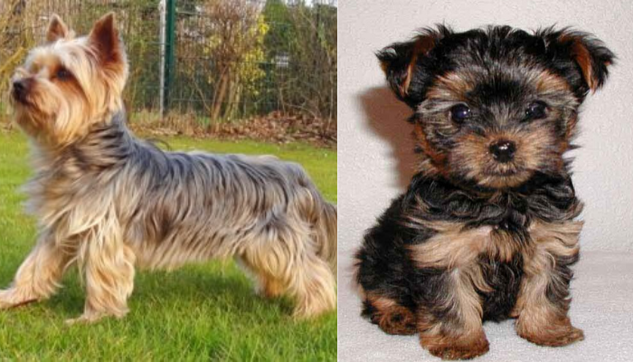 Regular yorkie v_s teacup yorkie appearance