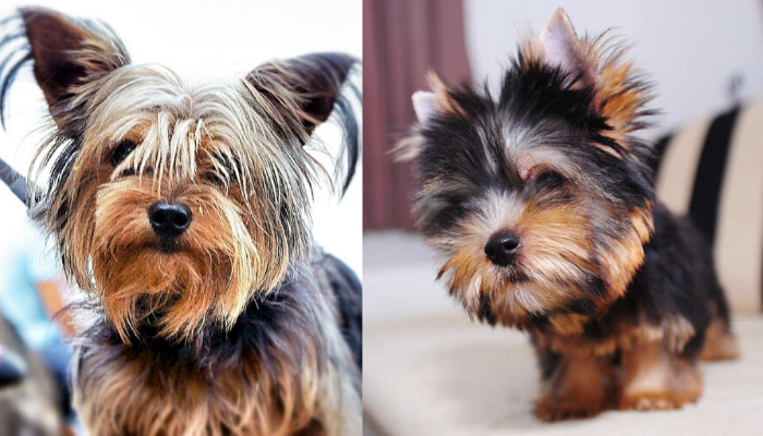 Regular yorkie v/s teacup yorkie