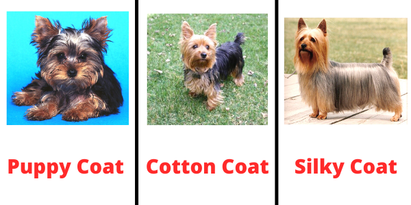 Types of Yorkie Coats with Pictures