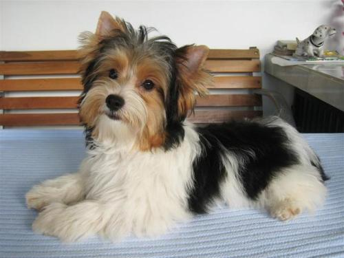 are parti yorkies purebred or not