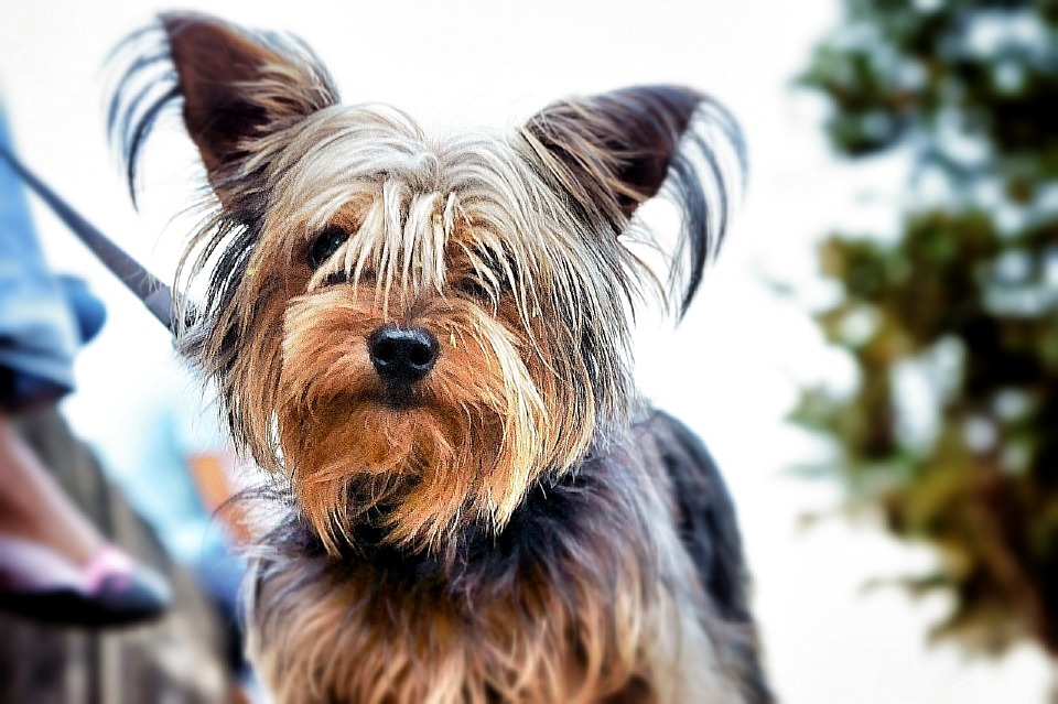 average lifespan of yorkshire terriers