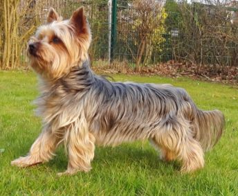 Everything You Need To Know About Yorkshire Terrier's Coat