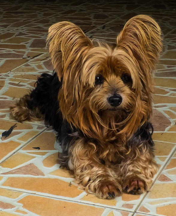food items to avoid feeding a yorkie