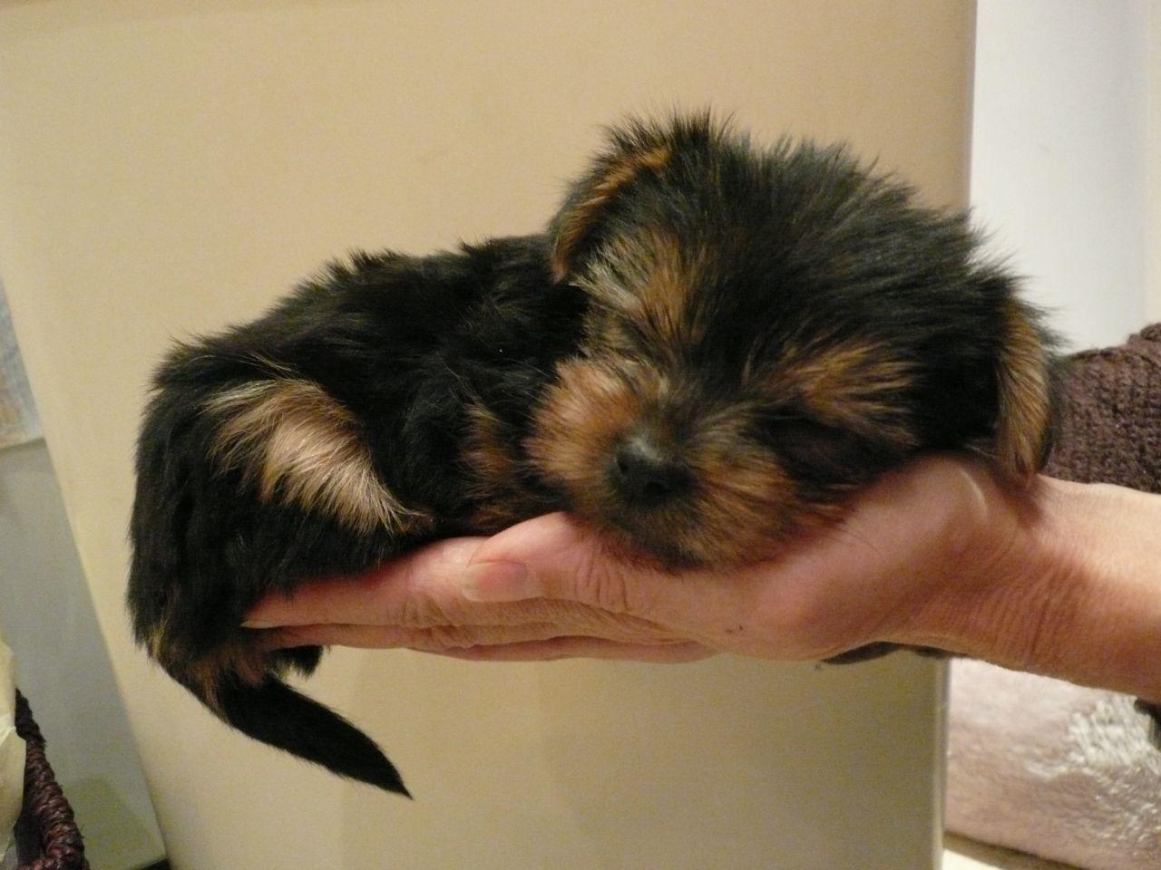 general sleeping habits of yorkshire terriers