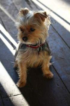 height of normal yorkie