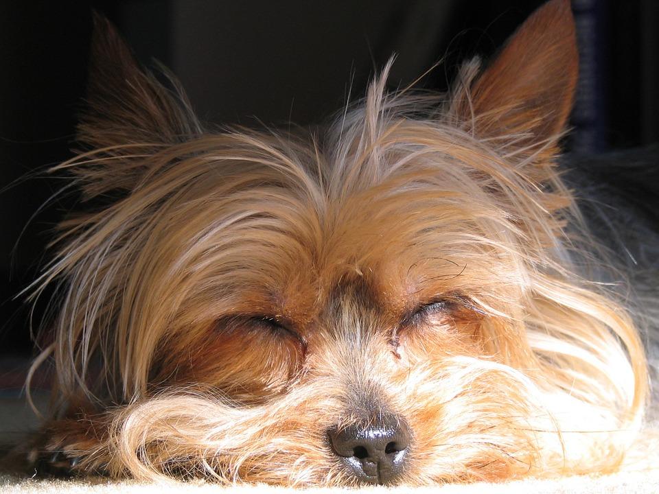 how long adult yorkies sleep