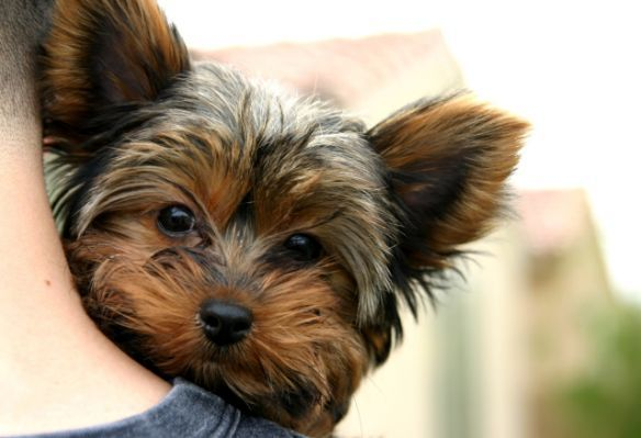 Do Yorkshire Terrier dogs shed?
